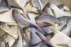 春节吃鱼专买这3种鱼满是野生的肉多刺少养分足定心吃